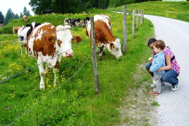 die Kühe auf der Weide beobachten