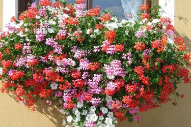Blumenherz am Fenster