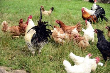 Hühnergarten