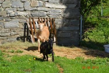 Glückliche Ziegen am Gourmet Bauernhof Mentebauer