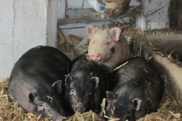Hängebauchschweinchen beim Ausruhen