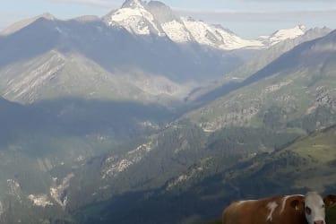 auch die Kühe haben freie Sicht auf den Gr0ßglockner