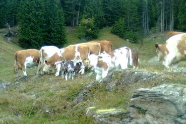 Kühe mit Kälber