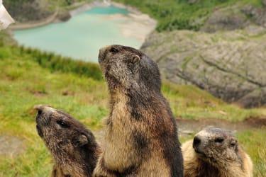 Murmeltiere im Nationalpark