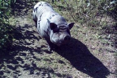 Susi, das Zwergschwein