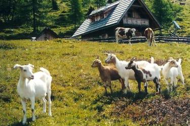 unsere Ziegen vor der Hütte