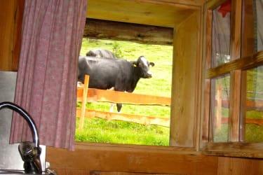 Hofeigene Kühe direkt hinter der Hütte