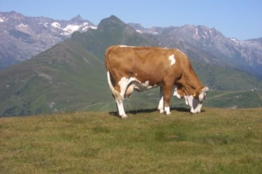 Zickerhütte Unsere Kuh