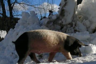 Schweineauslauf  - auch im Winter