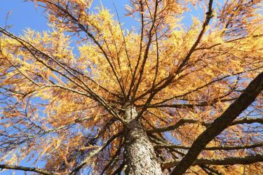 Lärche im Herbstkleid
