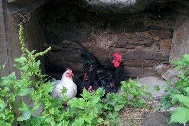 Die Hühnerfamilie