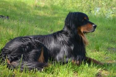Hofhund Lupo