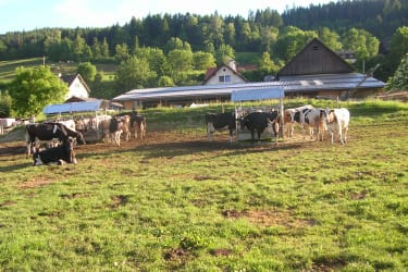 Milchkühe am Familienanwesen