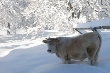 Kalb beim Wintersport