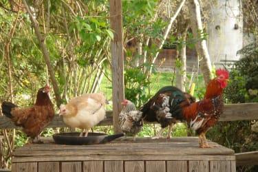 Bunte Hühnerfamilie