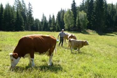 Die Kühe auf der Alm