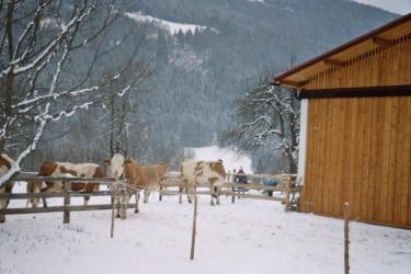 Kühe beim Tollen im Schnee