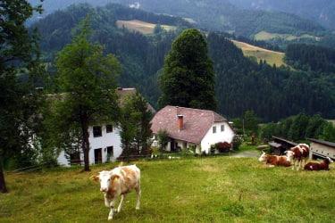 Kühe vor der Haustür