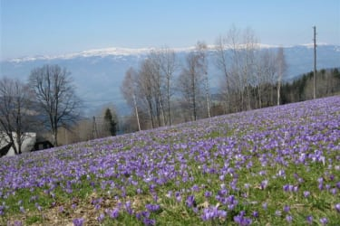 Crocus blooms on the Kamperkogel