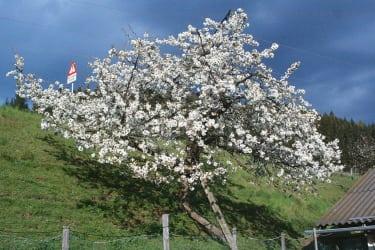 Unser Herzkirschenbaum