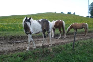 Pferde vom Nachbarhof