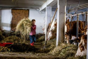 Die Kühe werden gefüttert