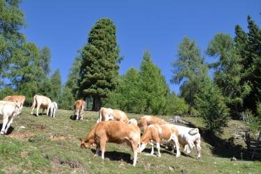 Kühe auf der Mâtlalm