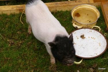 Minischweinchen Hans
