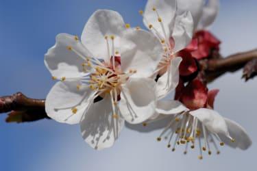 Marillenblüte im Frühling