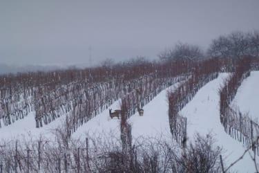 Rethaller-Weingarten im Winter
