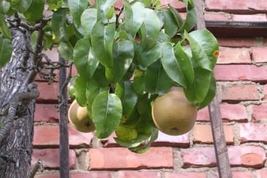 Birnen am Baum