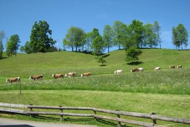 Die Kühe kommen zurück in den Stall