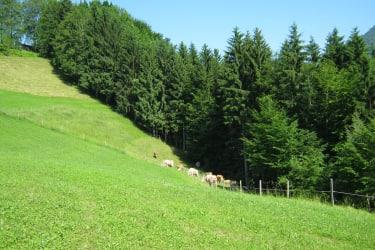 Die Kühe auf der Weide