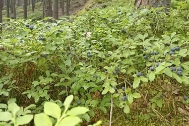 Artner Naturpension - Heidelbeeren