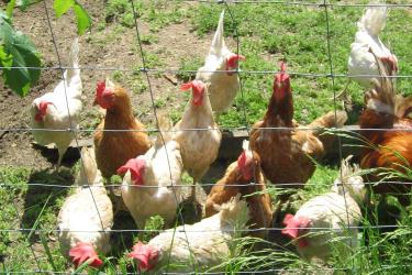 Unsere Freilandhühner