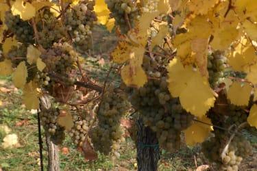 Weinstock mit reifen Trauben