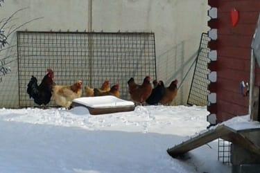 Ferkelhof Lehner - Der Hahn mit seinen Hennen