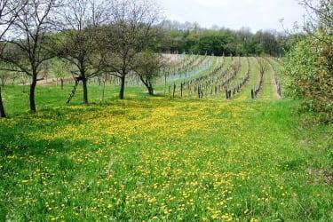 Weingarten mit Obstbäumen