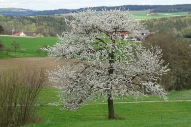 Gästehaus zur alten Buche - Kirschbaumblüte