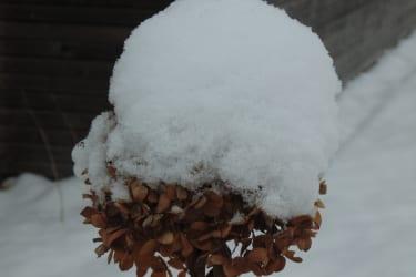 Hortensienblüte mit Schneehauberl
