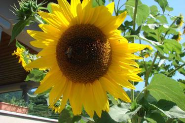 Riesige Sonnenblumen wachsen bei uns im Garten