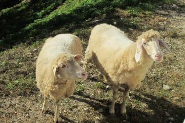 Büchlhof - Schafe