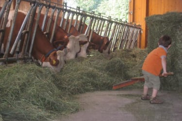 Kühe einfüttern