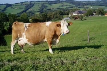 Forellenhof  Kuh auf der Weide Forellenhof im Hintergrund