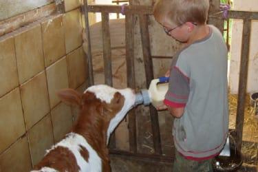 Neugeborenes Kalb füttern