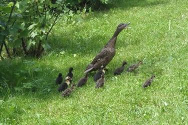 Enten Kücken Juni 2016