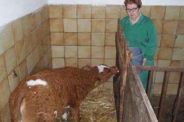 Kalb wird mit Milch gefüttert