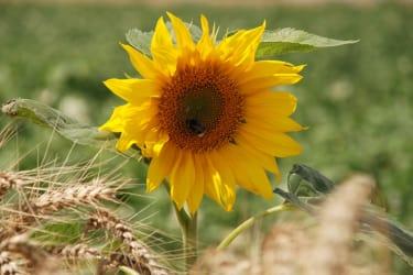 Privatzimmer Schulz - Sonnenblume/Getreide