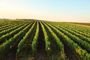 Vineyards as far as the eye can see