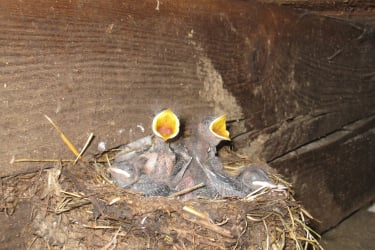Schwalbenkücken im Kuhstall